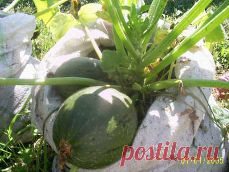 Мини теплая грядка.В пакетах для мусора можно сделать мини теплые грядки и получать хороший урожай.