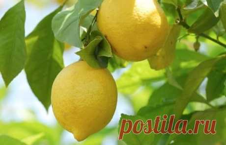 Лимон (лат. Citrus limon) | Рецепты народной медицины