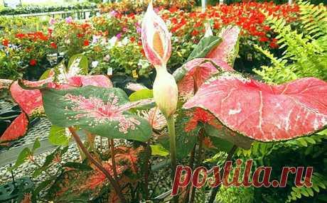 Цветок каладиум - уход в домашних условиях, фото, видео