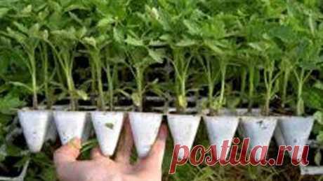ТОМАТЫ РАСТУТ В 2 РАЗА БЫСТРЕЕ ! НОВЫЙ МЕТОД ! Фитильный полив рассада томаты перец баклажаны петуни