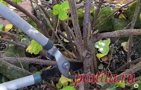 Осенняя обрезка смородины – важный шаг к богатому урожаю в следующем году. Расскажу, как я её делаю   Секреты бывалого дачника   Яндекс Дзен