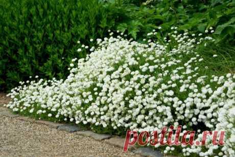 Универсальная жемчужница — для дизайна сада и здоровья. Фото — Ботаничка.ru