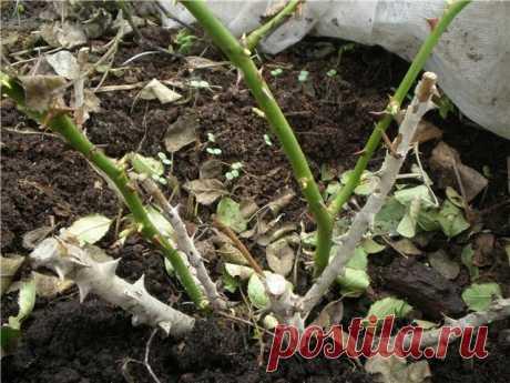 Как и когда открывать розы после зимы   Большинство любителей выращивать цветы, не упускают возможности высаживать у себя на участках розы. Опытные садоводы уже давно научились правильно ухаживать за ними, а вот новичкам предстоит освоить…