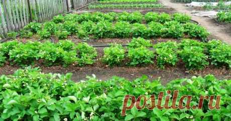 Вкусный Огород: Почему не плодоносит клубника? Может ли повредить внесение кроличьего помета?