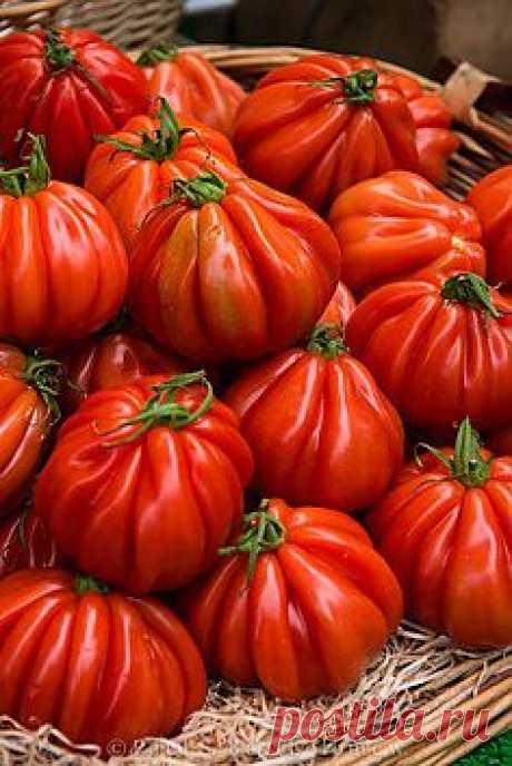 Фамильные помидоры на Парижский рынок  1