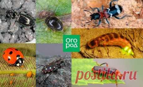 7 жуков, которых должен беречь каждый дачник | Дела огородные (Огород.ru)