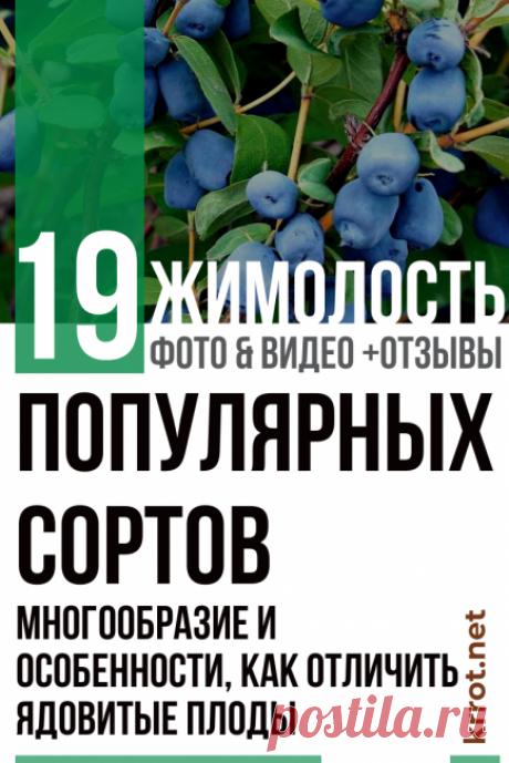Жимолость: Описание 19 Популярных Сортов (35 Фото) +Отзывы