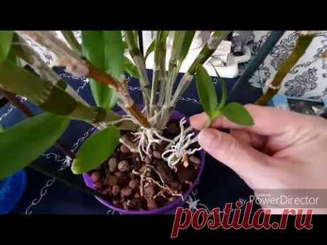 Размножение орхидей.Дендробиум Нобиле.Отделение и посадка деток👩👧👦