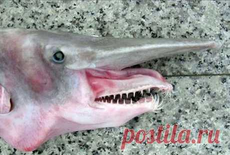 Shark brownie — one of the most low-studied species of sharks.