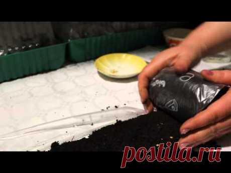Сажаем перец в улитку из пленки на рассаду - YouTube