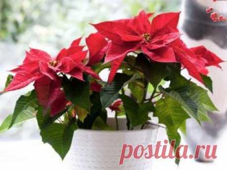 Цветок пуансеттия или молочай красивейший – растение, которое цветет на Рождество. За пуансеттией не сложно ухаживать. Её легко размножать и выращивать в домашних условиях.