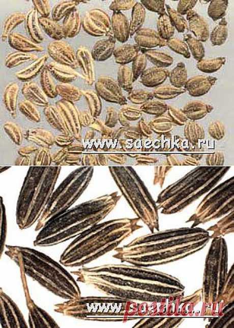 Ажгон (зира или айован душистый, индийский тмин) | Saechka.Ru - рецепты с фото