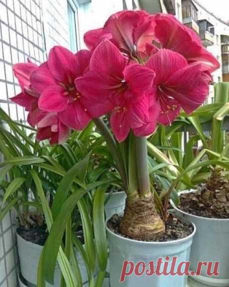 Амариллис (Гиппеаструм) – одно из самых распространенных и известных растений из семейства амариллисовых.