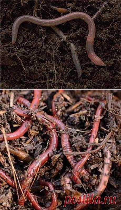 Черви калифорнийские красные  Это потрясающие животные! Их уникальная способность переваривать пожнивные и корневые остатки, болезнетворные почвенные и растительные грибы, микробов и др. органические вещества, мелиорировать и оструктуривать почву не дублируются никакими другими животными, и не может быть полностью компенсирована никакими агромелиоративными приемами.