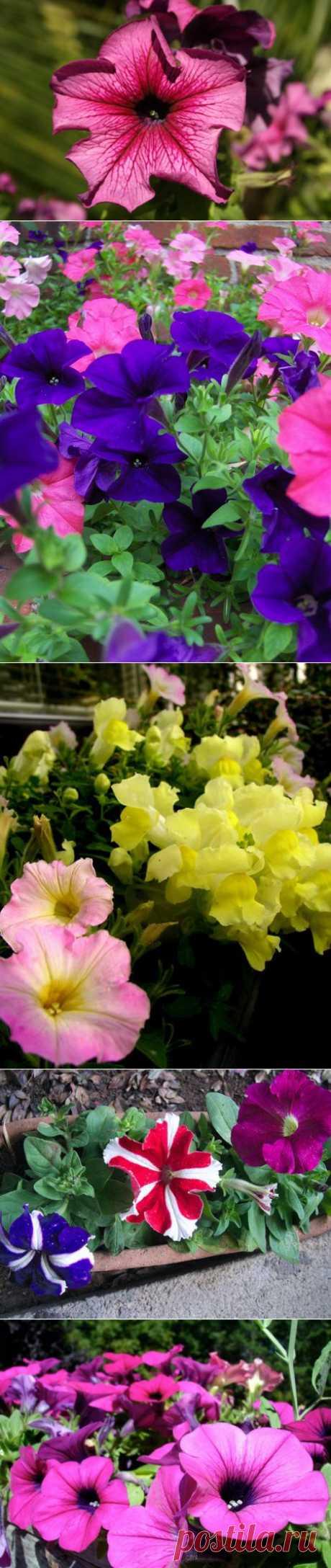 Ботаничка.ru | Петуния. Выращивание, уход, размножение, посадка, использование. Болезни. Цветок. Фото