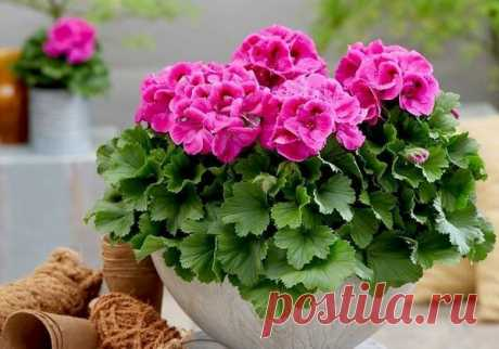7 секретов пышного цветения герани   Адель Роза   Яндекс Дзен