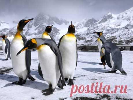 Королевские пингвины – странники в вечных льдах | nashi-pitomcy.ru