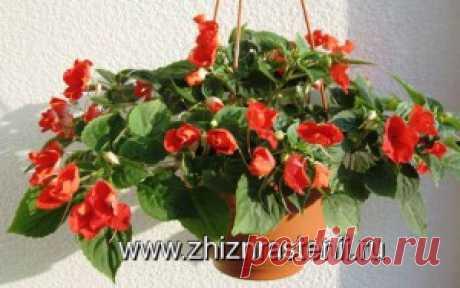 Бальзамин. Выращивание из семянЖизнь растений
