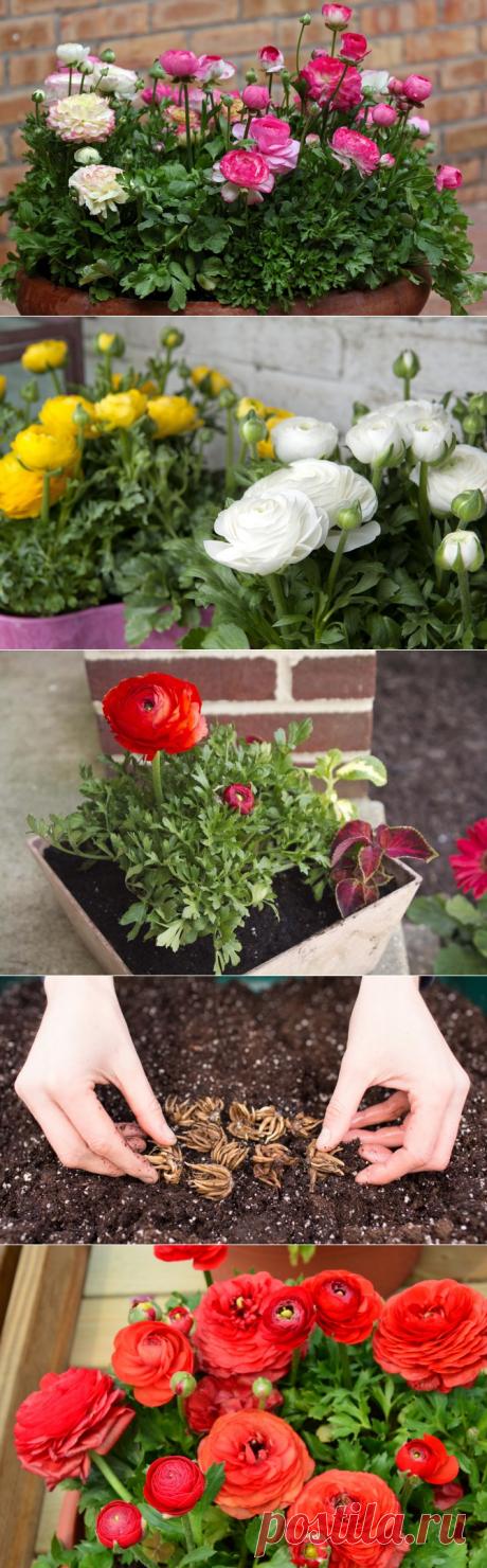 Цветы лютики – посадка и уход. Выращивание лютика в саду, когда и как сажать. Размножение садового лютика – Flowertimes.ru