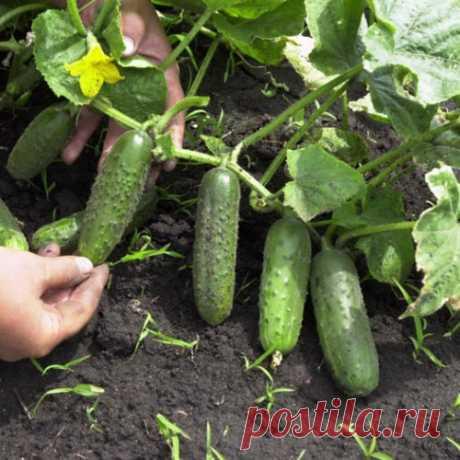 Йод и зеленка увеличат урожай и спасут от болезней.