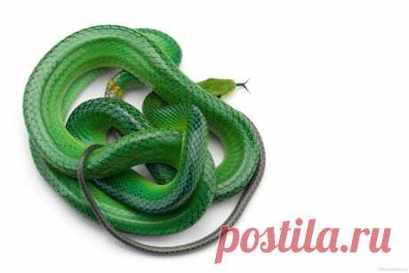 Пройдите змеиный лабиринт от начала до хвоста! Зеленый, или смарагдовый полоз (Gonyosoma oxycephalum) в объективе Дмитрия: nat-geo.ru/community/user/223331