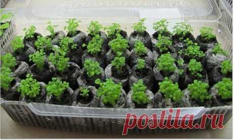 La plantación de las semillas en el agua hervida.