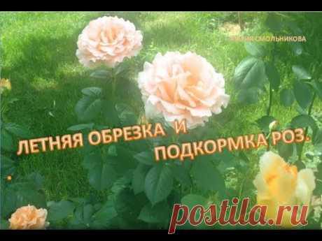 Летняя обрезка и подкормка роз .