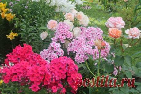 С чем можно сажать флоксы в саду: ландшафтный дизайн с фото