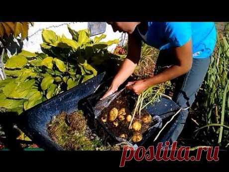 Гигантский картофель в ящике - двухметровая ботва и большие клубни! - YouTube