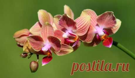 Фаленопсис орхидея: уход, размножение, пересадка в домашних условиях