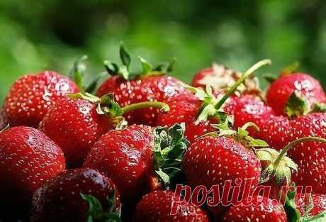 ПОДКОРМКА КЛУБНИКвпечатляющий. Кроме того, это удобрение можно использовать и для других овощей и ягод.   Подкормка клубники дрожжами  Подкармливать растения можно 2 раза за сезон, на 10 кустов хватает обычно ведра объёмом 5 л. Пачку дрожжей массой 1 кг нужно развести в 5 л воды. Для подкормки 0,5 л смеси следует развести в 10 л воды. По