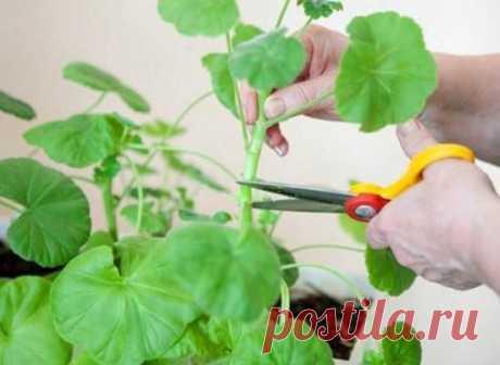 Правильная обрезка герани для пышного цветения