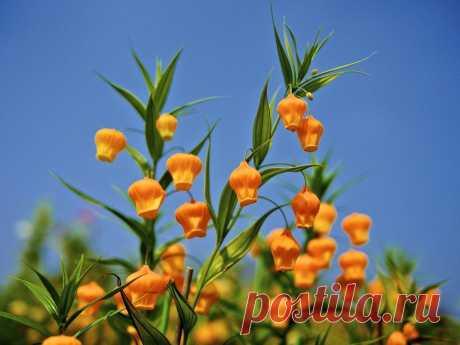 Сандерсония Цветы растения выполнены в форме фонарика. Эта удивительная форма напоминает бумажные китайские фонарики, представленные в миниатюре. В конце лета появляются яркие цветки красного или желтого цвета, которые возвышаются на высоту на 70 см... Сандерсония появилась из Южной Африки. Она приживется, если ваш дом находится в южном регионе.  |  Удивительные садовые цветы и растения