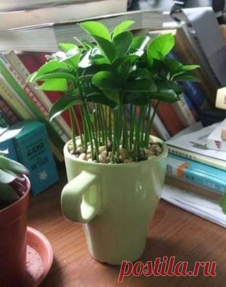 How to grow up a lemon tree in a cup.
