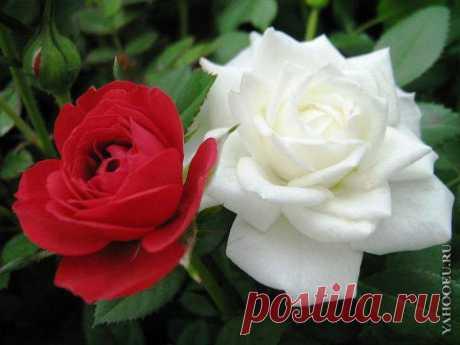 Белая роза - эмблема печали, красная роза - эмблема любви