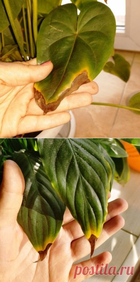 Почему чернеют (сохнут) кончики (края) листьев комнатных растений. | Klumba-plus.ru | Яндекс Дзен