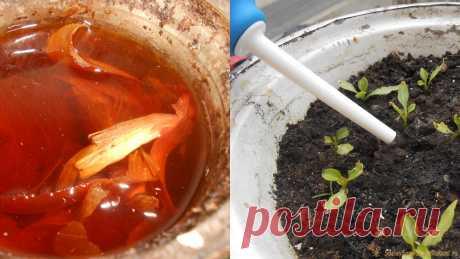 Действенная бюджетная подкормка для рассады на основе луковой шелухи Поклонники биологического земледелия, принципиально не использующие синтетические вещества, минеральные удобрения и пестициды при выращивании овощей, даже на стадии рассады, знают множество рецептов натуральных подкормок пасленовых растений. Полезные свойства луковой шелухи Одним из самых