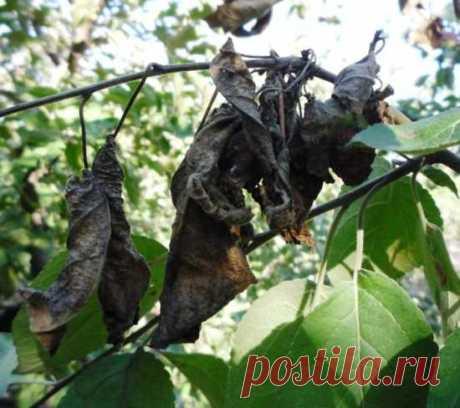 Сорта груши устойчивые к бактериальному ожогу
