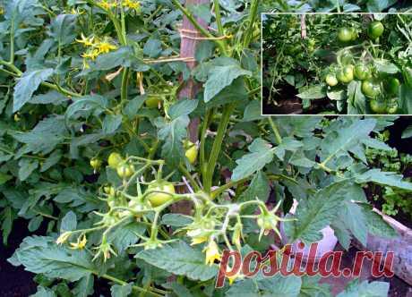 7 причин, почему осыпаются цветы и завязи у томатов в теплице и что делать для спасения урожая   Сибирский сад   Яндекс Дзен