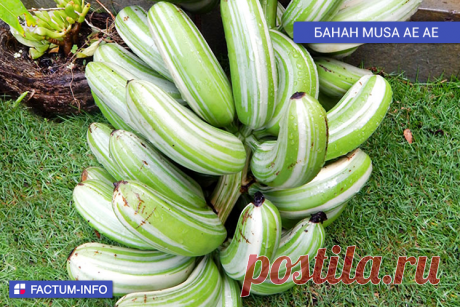 🔷 Банан Musa Ае Ае.⠀ Существует редкий сорт бананов под названием Musa Ае Ае или Maia Manini, плоды которого имеют необычную полосатую окраску  Самые необычные сорта бананов ➡️ https://factum-info.net/fakty/eda/552-kakie-byvayut-vidy-bananov-samye-neobychnye-sorta-bananov