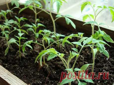 Что сеять в январе на рассаду - подробный список! Какие овощные культуры выбирают для посева на рассаду в январе. Подготовка семян и грунта для посева. Уход за посева и всходами. полив сеянцев. пикировка рассады в отдельные горшочки.
