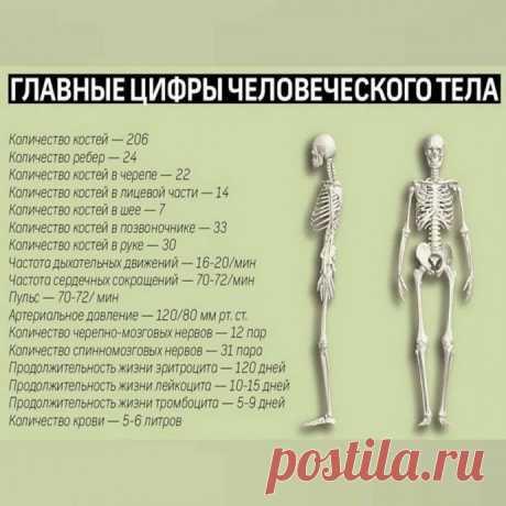 Главные числа человеческого тела, которые стоит знать