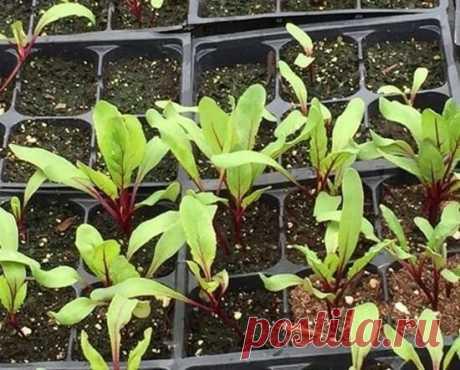 Как выращивать свеклу рассадным способом и что это дает | Летний досуг | Яндекс Дзен