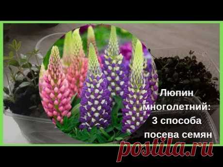 Садовые цветы: Люпин многолетний: 3 способа посева семян.