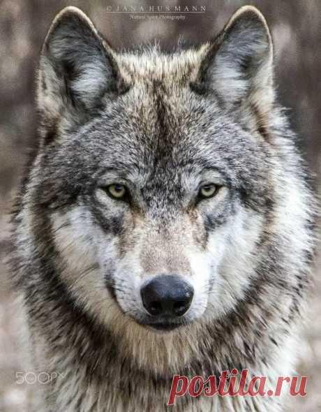 Pin by Vicky Roberts on Animals Одинокий волк, Татуировка волк, Дикие животные в Яндекс.Коллекциях