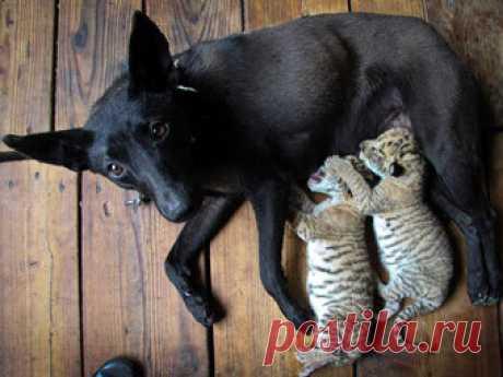 Собака взяла на воспитание лигров.
