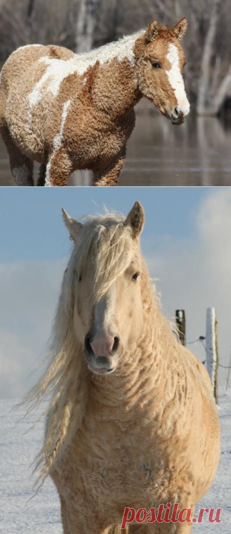 Кудрявые лошади. Самые красивые существа, о которых мало кто знает