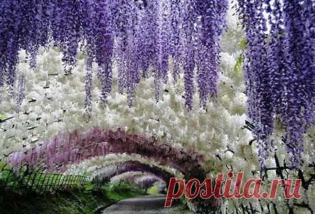 «Начиная с весны эта древовидная лиана радует глаз своим цветением, которое длится все лето.» — карточка пользователя Асеева А. в Яндекс.Коллекциях