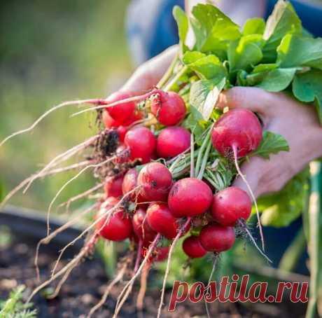 Секрет получения хорошего урожая редиса благодаря уникальному методу подсадки | Тысяча и одна идея