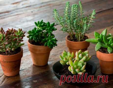 Седум - Суккулентное растение седум (Sedum) является представителем семейства Толстянковые. Данный род объединяет около 600 видов, представленных низкими полукустарниками, суккулентами, а также травянистыми растениями, которые могут быть многолетниками, одно- и двулетниками. В... Read more »